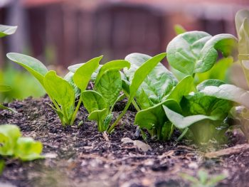 What are 5 easy to grow spring vegetables?