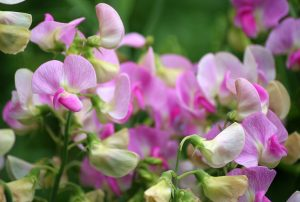 sweet-pea-fire-and-ice