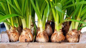 daffodil-bulbs