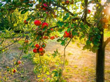 What are grafted apple trees?