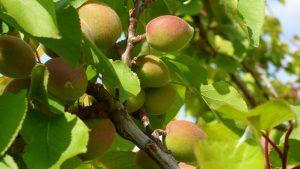 apricot-tree