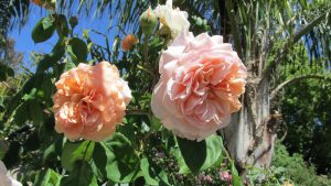 apricot-roses