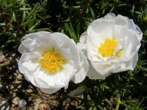 moss-roses