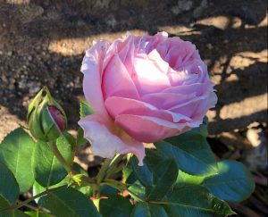 per-fyoon-perfune-rose