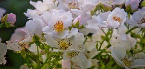 shrub-roses