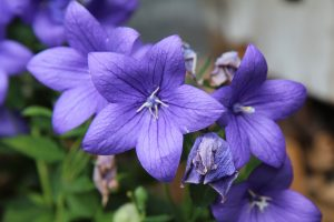 blue-balloon-flower