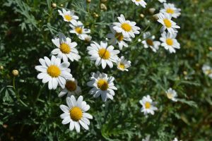 camomile-flowers