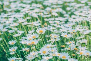 shasta-daisies