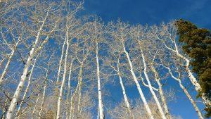 white-birch-trees