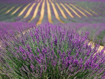 How to identify different lavenders