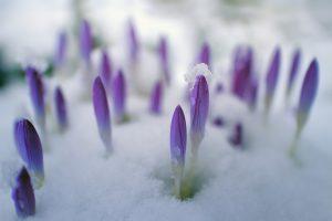 snow-crocus