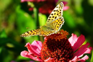 butterfly-pollinator