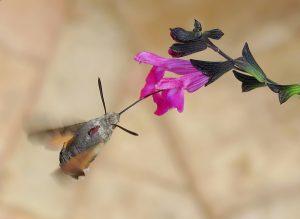 pollinating-moth