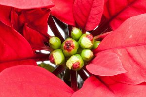 poinsettia-flower-buds