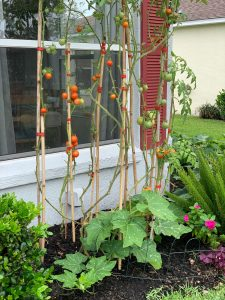 tomatoes-and-low-growing-plants