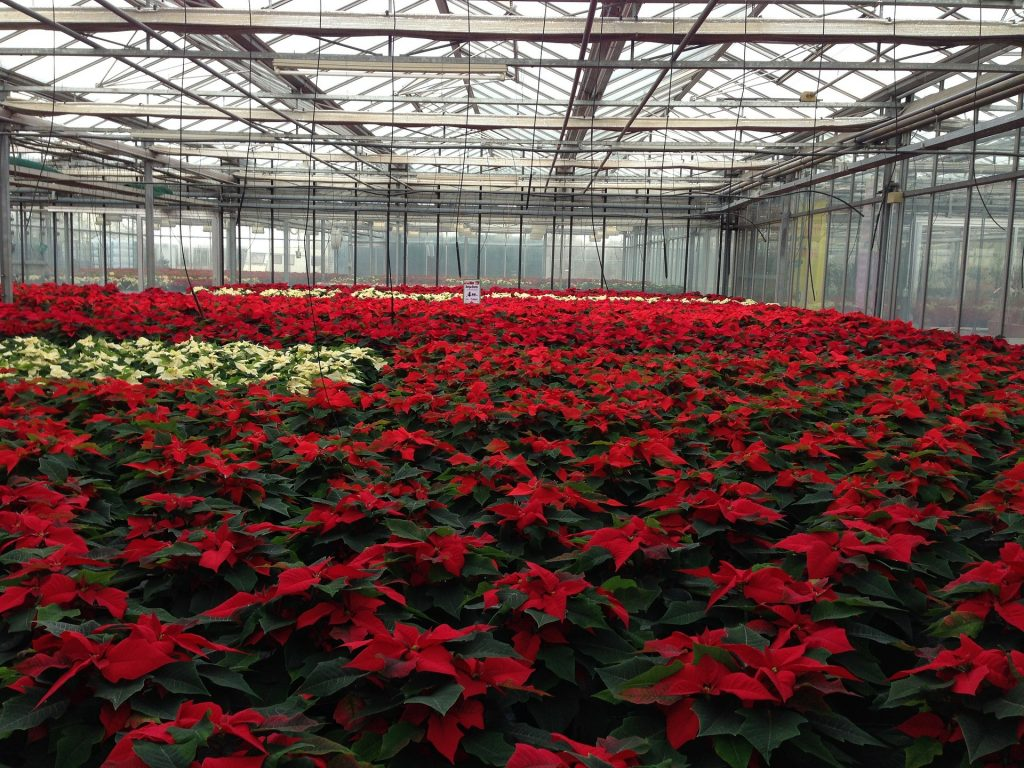 poinsettia-greenhouse