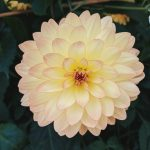 How To Grow and Overwinter Dahlias