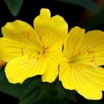 Evening Primrose and its Health Benefits