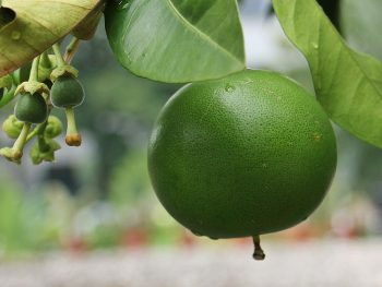 How Do You Prevent Citrus Fruit From Dropping?