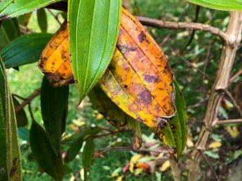 yellow-tibouchina-leaf