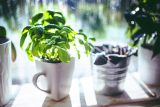 potted-basil